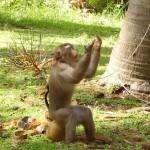 En av alla apor i Koh Samui